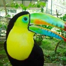 Birdwatching in Panama. A toucan