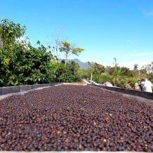 A coffee farm in Panama