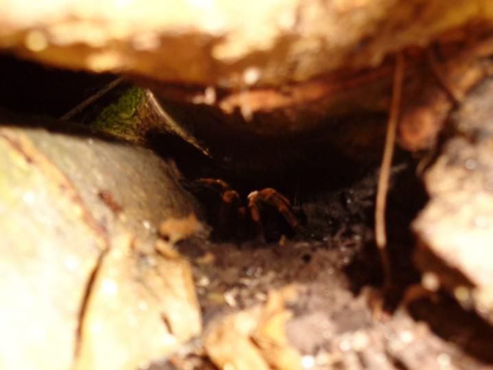 Tarantula, Costa Rica