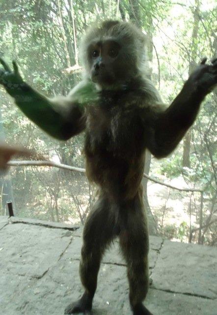 Capuchino Monkey