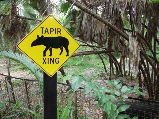 Tapirs crossing